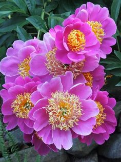 Paeonia Le Charme (Eliason 64) : Paeonia 'Le Charme' is a 1964 Paeonia lactiflora hybrid from Martin Eliason that's been a standout in our peony heat tolerance trials. Paeonia 'Le ...
