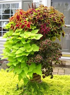 I love coleus and sweet potato vine. What a statement.