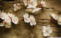 Apfelblüte Wallpaper -Wallpaper Frühling
