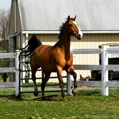 Dutch Warmblood