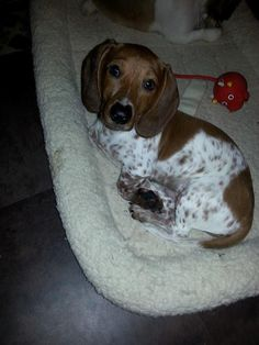 Adorable dachshund - beautiful coloring!