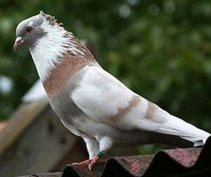 Pigeon a Day Cute Pigeon, Pigeon Bird, Pigeon Pictures, Animal Pictures, High Flying Pigeons, Beautiful Birds, Animals Beautiful, Tumbler Pigeons, Pigeon Loft Design