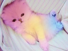 Rainbow cat OMG its soo fluffy and cute I Love Cats, Cute Cats, Funny Cats, Crazy Cat Lady, Crazy Cats, Kittens Cutest, Cats And Kittens, Mundo Animal, Here Kitty Kitty
