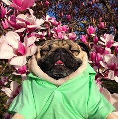 happy pug #dog #dogs #dogsperts #pet #doglover #cute #puppies #pups #lovemydog #pug #pugs #flower #flowers