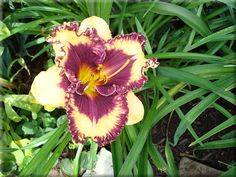 Daylily (Hemerocallis 'Take the Long Way Home') in the Daylilies Database (All Things Plants)