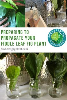 If you've decided you'd like to propagate a fiddle leaf fig plant, there's no time like the present. The best time to propagate your plant is in the spring when your plant is naturally growing and there's plenty of light available. But to ensure a success Fig Bush, Ficus Lyrata, Cactus Plante, Fiddle Leaf Fig Tree, Fig Leaves, Outdoor Plants, Plants Indoor, Outdoor Gardens, Plant Care