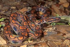 Brazilian Rainbow Boa, Epicrates cenchria Amphibians, Reptiles, Brazilian Rainbow Boa, Small Animals, Wonders Of The World, Iridescent, Childrens Books, Noodles, Snake