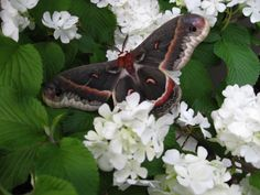 cecropia moth by Susan Johnson. Beautiful shot!