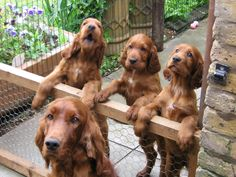 irish setters. look at those sweet faces