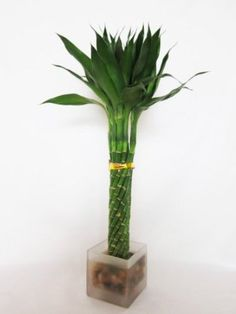 Tall 1-LIVE BAMBOO PLANT TROPICAL PLANT LUCKY BAMBOO Spiral PLANT 18/'/' to  20/'/'