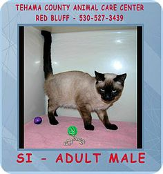 Red Bluff, CA - Siamese. Meet SI a Cat for Adoption.