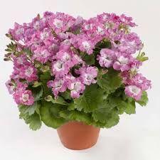 """Résultat de recherche d'images pour """"pelargonium"""""""