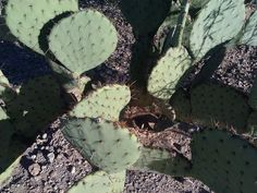 Picture of Plant a Prickly Pear Cactus