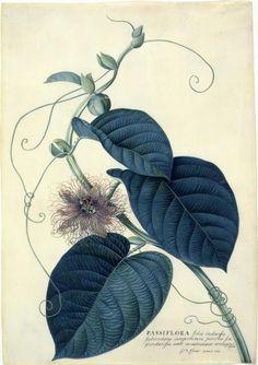 itsokaytobepluto:  Georg Dionysius Ehret's botanical illustrations are amazing.
