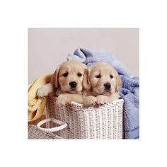 Golden Retriever Dog Two Puppies in Laundry Basket Photographic Wall... ($35) ❤ liked on Polyvore featuring home, home decor, wall art, 20th century art, andy, andy photography, fine art by era, fine art views, people warhol photography and warhol