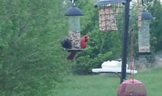 Grackle and Cardinal sharing the feeder.