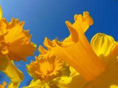 narcissus daffodil flower