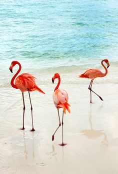 Bright orange flamingos are part of the scenery on Renaissance Aruba Island in the Caribbean Flamingo Photo, Flamingo Beach, Pink Flamingos, Nature Animals, Animals And Pets, Cute Animals, Unusual Animals, Aruba Island, Palm Trees Beach