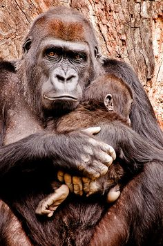 Gorilla & Baby by sunspotimages on Flickr.