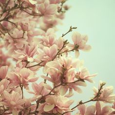 Spring Magnolia Photo in Pastel Flower by EyePoetryPhotography