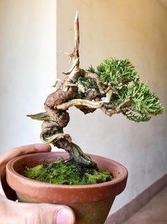 Bonsai Tree Types, Bonsai Trees, Mame Bonsai, Juniper Bonsai, Miniature Trees, Bonsai Garden, Growing Tree, Tree Designs, Flowering Trees