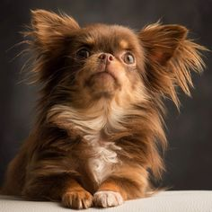 5 #chihuahua Facts That Will Blow Your Mind. Our next dog will def be a chihuahua! Chihuahua Facts, Long Haired Chihuahua, Chihuahua Puppies, Teacup Chihuahua, Cute Puppies, Cute Dogs, Dogs And Puppies, Doggies, Pomeranian Puppy