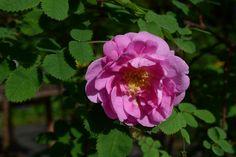 Ruusu – Suvi | Vesan viherpiperryskuvat – puutarha kukkii