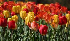 Springtime Tulip Song at Cantigny Gardens, Wheaton, Illinois