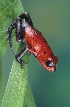 Strawberry Poison Arrow Frog from Costa Rica. Some have more purple legs.