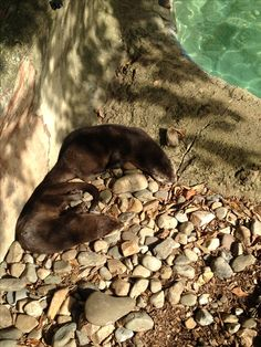 Otters sleeping at The Elmwood Zoo in Norristown, PA