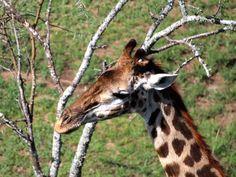 Giraffe (Giraffa camelopardalis) in Serengeti