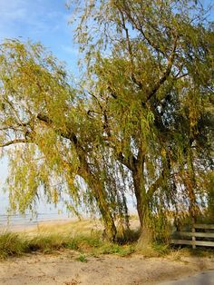 Fall Willow #2