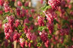 RED FLOWERING CURRANT RIBES SANGUINEUM | Ribes sanguineum (Flowering Currant or Red-flowering Currant)