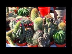 Collection of flowering cactus.