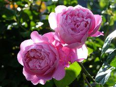 'Mary Rose' | Shrub.  English Rose Collection - David Austin