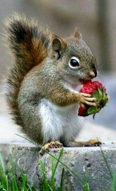 Beautiful SUCH A SWEET LITTLE 'FELLOW' ENJOYING HIS STRAWBERRY!