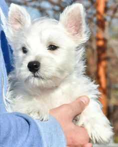westie :) reminds me of the ones I had and loved!