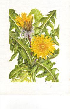 an acrylic sketch of a dandelion genus Taraxacum  by Beryl Hazelden