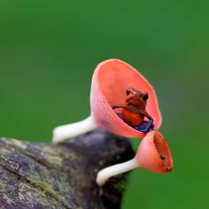 This tiny frog is also known as the strawberry poison arrow frog. The adults are between 2 and 2.5 cm long (3/4-1 inch). The males are very territorial and patrol it defending it from other mating or calling males, non-breeding males, and of course females, are allowed in.