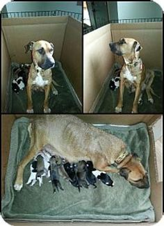 MICHIGAN ~ meet Joy ~ an #adoptable #Shepherd blend #dog in #Birmingham. oy is a new mama; she recently gave birth to 13 pups. Unfortunately, only 4 survived. Joy was rescued from a high kill shelter in NC and did not receive the proper nutrition or medical attention. Please keep checking for updates for when Joy and her puppies are ready to come to adoption events. Make a Difference Rescue in Birmingham, MI PH 248-703-9167