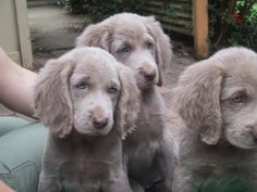 Long Haired Weimaraner Puppies