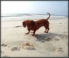 """""""Dachshund vs. Crab""""  Madeline the dachshund finds a new playmate and desperately tries to prolong their interaction."""