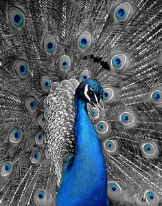 Peacock - I want to die with my blue genes on. | Flickr - Photo Sharing!