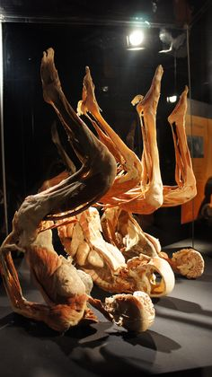 Body Worlds and the Cycle of Life Exhibit