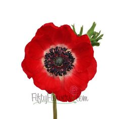 Buy bulk anemones at FiftyFlowers.com! Displaying bright, lipstick red petals, this flower would be an ideal pop of color for a monochromatic, wildflower style bouquet containing red dahlias and red tinted baby's breath.Offered in quantities of 80 and 160 stems, select the package below that best suits your event needs!