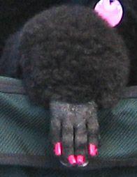 Adorable poodle paw