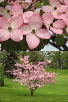 Buy Pink Chinese Dogwood Cornus kousa 'Satomi' trees For Sale Online Fro. Buy Pink Chinese Dogwood Cornus kousa 'Satomi' trees For Sale Online From Wilson Bros Gardens Dwarf Trees For Landscaping, Front Yard Landscaping, Trees And Shrubs, Trees To Plant, Small Garden Trees, Dwarf Flowering Trees, Small Gardens, Kousa Dogwood Tree, Trees For Front Yard