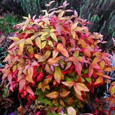 Firepower Nandina, dwarf  to plant in front of redtwig dogwood