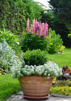 potted boxwood with alyssum edging in front of the stunning lupins - a perfect backdrop to show off all the colors