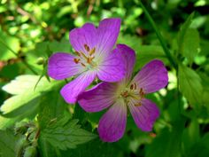 5 outdoor plants you can't kill: Wild Geranium, Oregano, Chives, Poppies and Daffodils